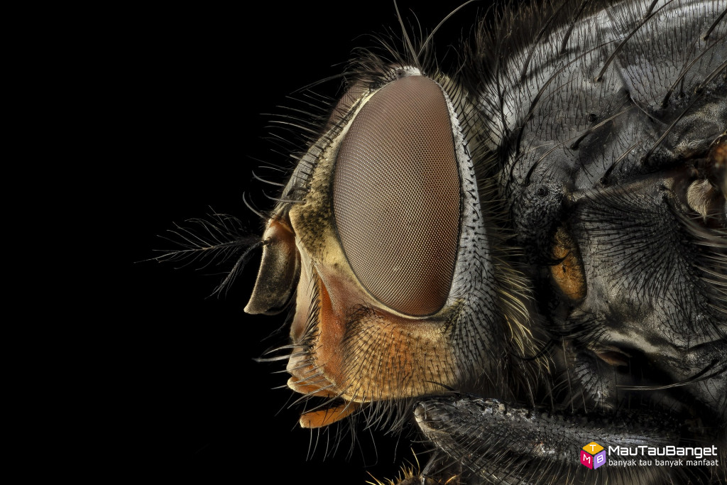 Lalat menyebarkan kuman dan bakteri setelah hinggap di sampah, kotoran, bangkai dsb