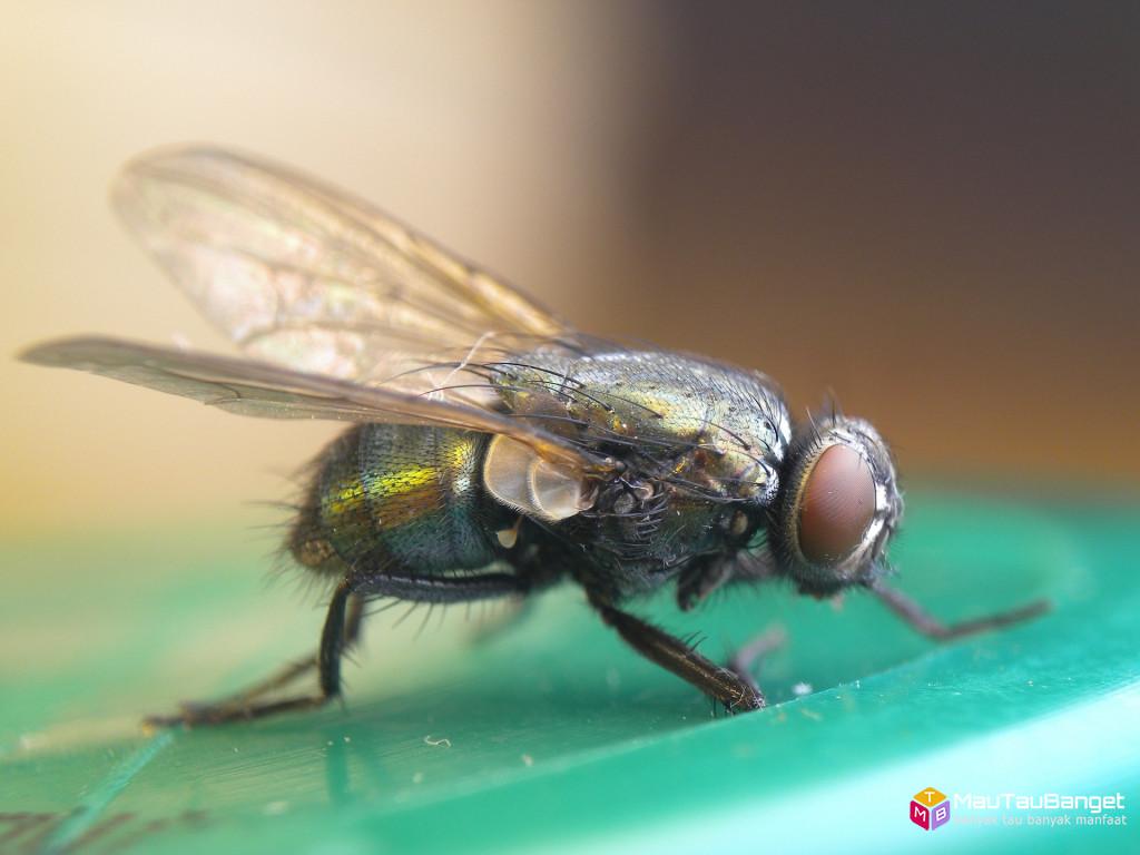Ini yang terjadi ketika lalat hinggap di makanan