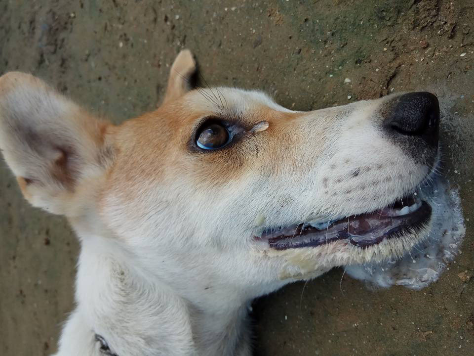 Anjing Achy Wijaya setelah diracun (Sumber: facebook Achy Wijaya)