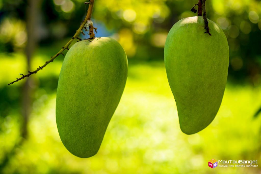 Ini yang akan terjadi pada tubuh jika makan mangga setiap hari selama 1 bulan